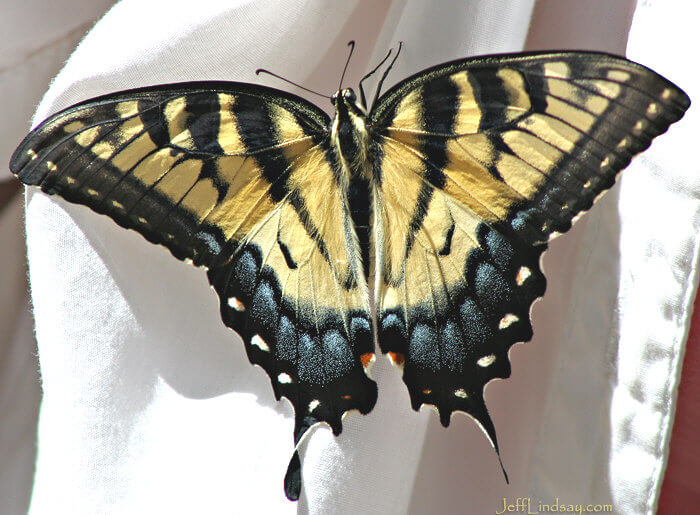 Another view of the newly emerged swallowtail butterfly, Aug. 2008, Madison, Wisconsin.