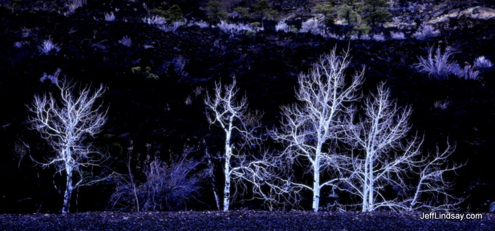 Ghostly trees near a large volcanic area in northern Arizona.