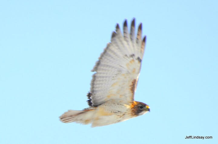 Hawk in flight, Appleton, WI.
