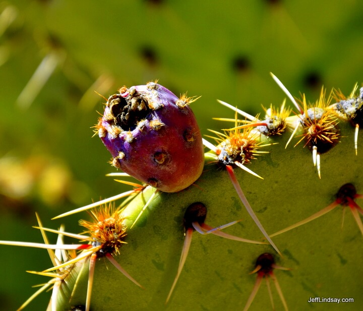 Prickly pear fruit in Sedona, Arizona.