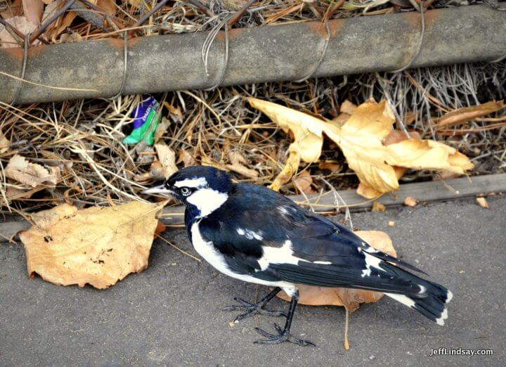 Melbourne, Australia, May 2013: bird and litter