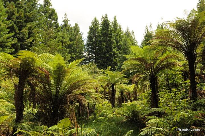 New Zealand: swamp in the redwood forest