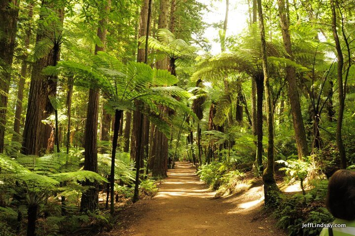 New Zealand: rail in the Redwood Forest.