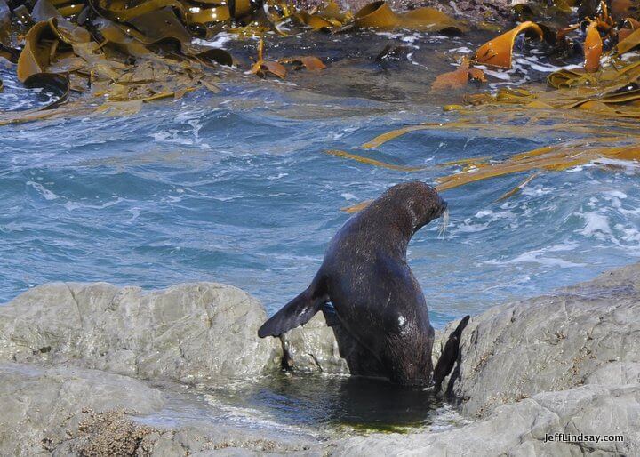 New Zealand: Another seal at the colony on the South Island.