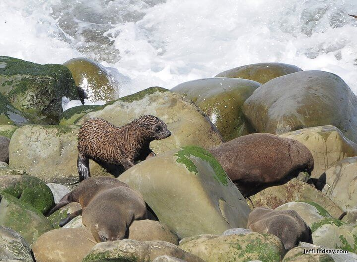 New Zealand: baby seal near adult seals