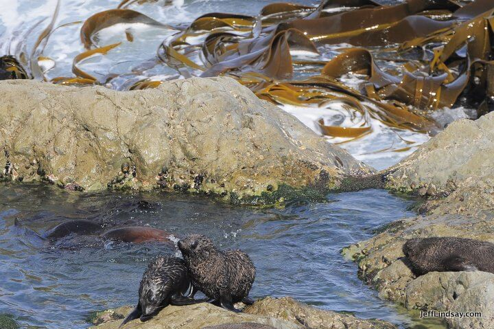 New Zealand: seals and kelp