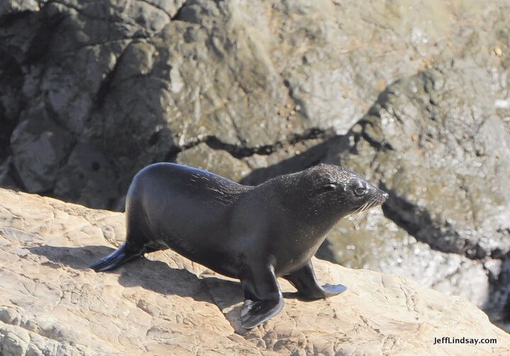 New Zealand: fur seal