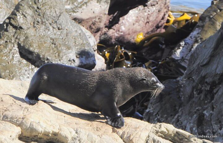 New Zealand fur seal, 2013