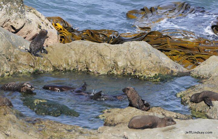 New Zealand: Partial view of a large colony of seals, South Island