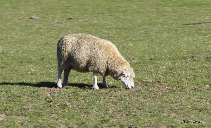 New Zealand: sheep