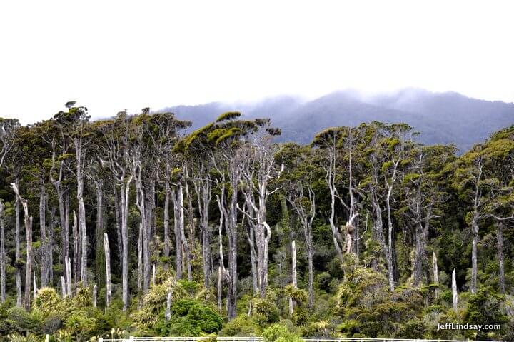 New Zealand: Wind-whipped trees and shrubs on the west coast of the South Island.