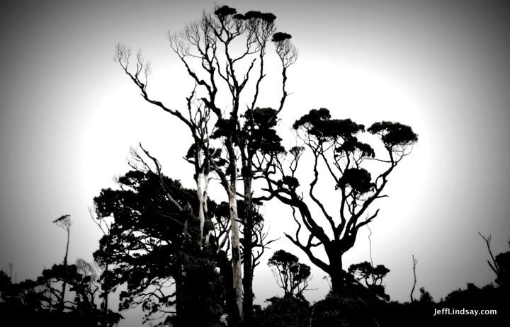 New Zealand: silhouette of trees